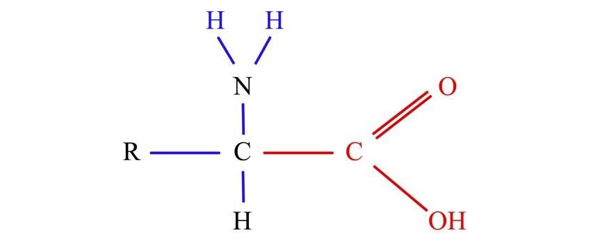 Grupo amino básico (NH2) y un grupo carboxilo ácido (COOH)